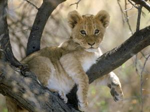 African Lion, Cub, Botswana by Mark Hamblin