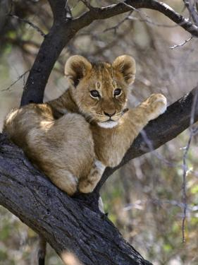 African Lion, Young Cub in Tree, Southern Africa by Mark Hamblin