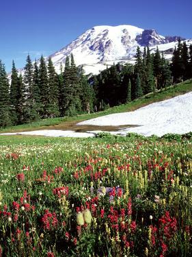 Alpine Meadow & Mount Rainier, Mount Rainier National Park, USA by Mark Hamblin