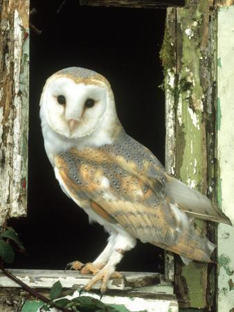 Barn Owl Perched in Old Window Frame, South Yorks by Mark Hamblin