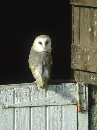 Barn Owl, Tyto Alba Adult Perched on Stable Door, Scotland Cairngorms National Park, Scotland by Mark Hamblin