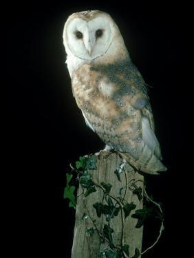 Barn Owl by Mark Hamblin