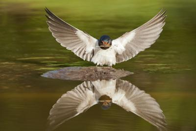 Barn Swallow (Hirundo Rustica) Alighting at Pond, Collecting Material for Nest Building, UK by Mark Hamblin