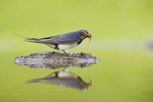 Barn Swallow (Hirundo Rustica) Collecting Material for Nest Building, Scotland, UK, June by Mark Hamblin