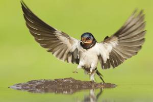 Barn Swallow (Hirundo Rustica) Collecting Mud for Nest Building. Inverness-Shire, Scotland, June by Mark Hamblin