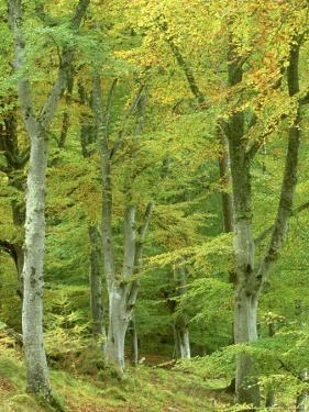 Beech Woodland in Autumn, Strathspey, UK by Mark Hamblin