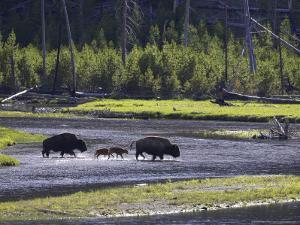 Bison, Two Adult Cows with Calves Crossing Madison River, USA by Mark Hamblin