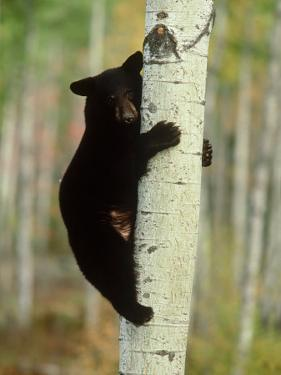 Black Bearursus Americanuscub Sat up Tree, Autumn Foliage by Mark Hamblin
