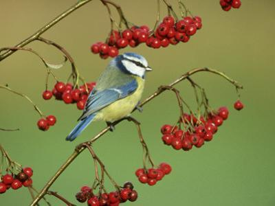 Blue Tit, Perched on Berries