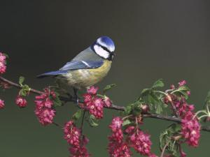 Blue Tit, Perched on Wild Currant Blossom, UK by Mark Hamblin