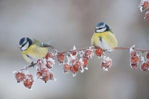 Blue Tits (Parus Caeruleus) in Winter, on Twig with Frozen Crab Apples, Scotland, UK, December by Mark Hamblin
