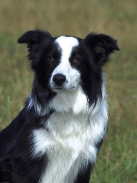 Border Collie, Portrait of Nine Month-Old Dog by Mark Hamblin