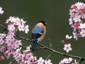 Bullfinch, Pyrrhula Pyrrhula, Male, Feeding on Cherry Blossom, UK by Mark Hamblin