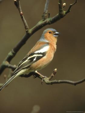 Chaffinch, Fringilla Coelebs Male Singing from Small Branch, S. Yorks by Mark Hamblin
