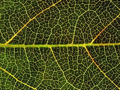 Close-up Detail of Veins, Leaf of Virginian Creeper, October, Scotland by Mark Hamblin