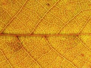 Close-up of Leaf Showing Vein Structure and Autumn Colour, Scotland by Mark Hamblin