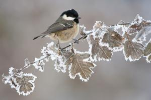 Coal Tit (Periparus Ater) Adult Perched in Winter, Scotland, UK, December by Mark Hamblin