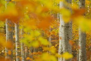 Common Beech (Fagus Sylvatica) Woodland in Autumn, Cairngorms National Park, Scotland, UK, October by Mark Hamblin