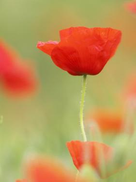 Common Poppy, Close-up of Single Flower in Arable Field, Scotland by Mark Hamblin