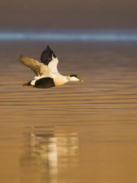 Eider (Somateria Mollissima) Male in Flight in Evening Light. Aberdeenshire, Scotland, UK, March by Mark Hamblin