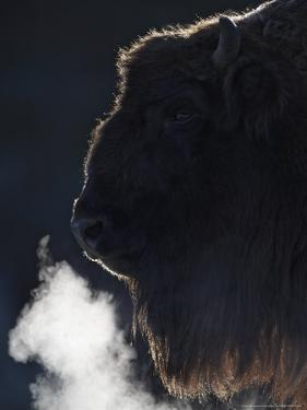 European Bison, Close-up Portrait of Adult Female Showing Backlit Breath (Captive), Scotland by Mark Hamblin