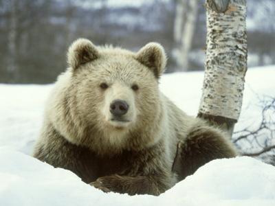 European Brown Bear, Ursus Arctos Male Sat on Snow Norway