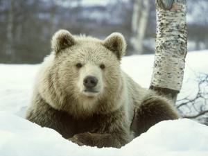 European Brown Bear, Ursus Arctos Male Sat on Snow Norway by Mark Hamblin