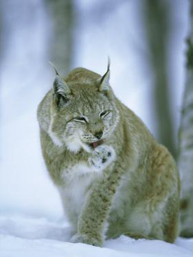 European Lynx, Female Grooming Foot, Norway by Mark Hamblin