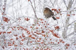 Female Blackbird (Turdus Merula) Perched in Crab Apple Tree in Winter, Scotland, UK, December 2010 by Mark Hamblin