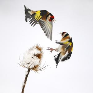 Goldfinches (Carduelis Carduelis) Squabbling over Teasel Seeds in Winter. Cambridgeshire, UK by Mark Hamblin