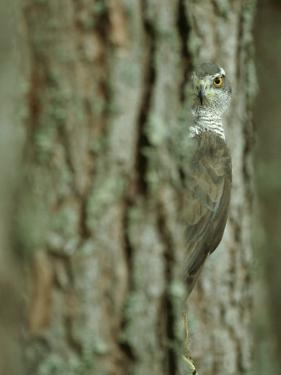 Goshawk, Peering from Between Trees by Mark Hamblin