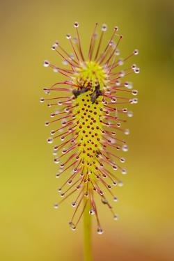 Greater Sundew (Drosera Anglica) Close-Up, Flow Country, Sutherland, Highlands, Scotland, UK by Mark Hamblin