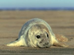 Grey Seal, Pup, UK by Mark Hamblin