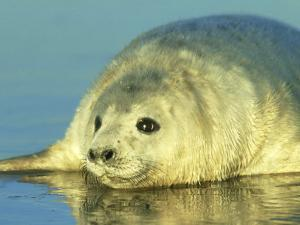 Grey Seal, Young Pup Close Up, UK by Mark Hamblin