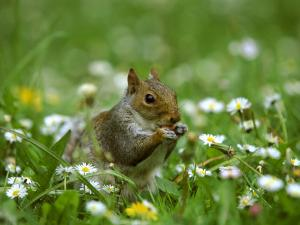Grey Squirrel by Mark Hamblin