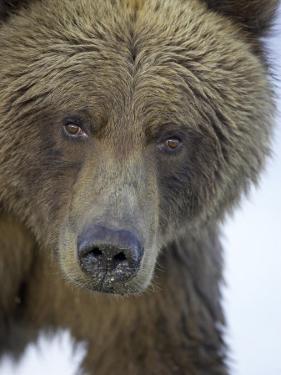 Grizzly Bear, Portrait of Adult Female, Alaska by Mark Hamblin