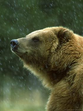 Grizzly Bear, Ursus Horribilis, Yelllowstone National Park, USA by Mark Hamblin