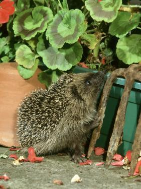 Hedgehog, Climbing up into Flower Container by Mark Hamblin