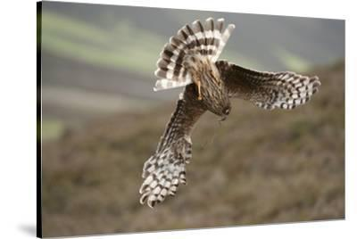 Hen Harrier (Circus Cyaneus) Female Diving to Nest Site, Carrying Nesting Material, UK, June by Mark Hamblin