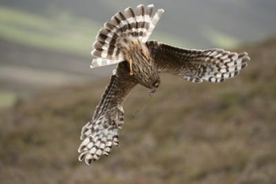 Hen Harrier (Circus Cyaneus) Female Diving to Nest Site, Carrying Nesting Material, UK, June