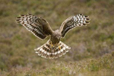 Hen Harrier (Circus Cyaneus) Hovering over Moorland, Glen Tanar Estate, Deeside, Scotland, UK