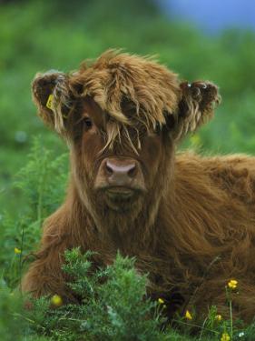Highland Cow by Mark Hamblin