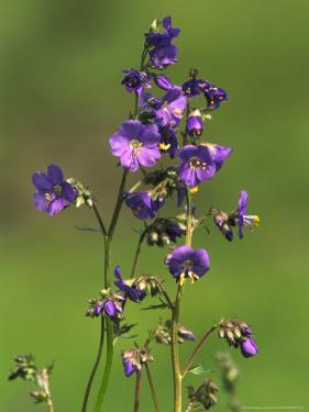 Jacobs-Ladder, Close-up of Flowers, June, UK by Mark Hamblin