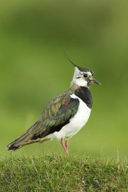 Lapwing (Vanellus Vanellus) Adult in Breeding Plumage, Scotland, UK, June by Mark Hamblin
