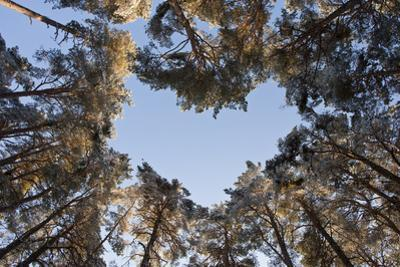 Looking Up Through Canopy of Scot's Pine Trees (Pinus Sylvestris) Woodland Showing Heart Shape, UK by Mark Hamblin