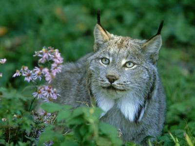 Lynx, Lynx Canadensis Close-up Portrait USA