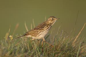 Meadow Pipit (Anthus Pratensis) on Ground in Rough Grassland, Scotland, UK, May 2010 by Mark Hamblin