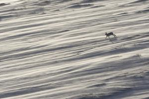 Mountain Hare (Lepus Timidus) in Winter Coat Running across a Snow Field, Scotland, UK by Mark Hamblin