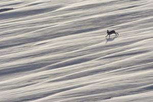 Mountain Hare (Lepus Timidus) Running across Snow Field, Cairngorms National Park, Scotland by Mark Hamblin