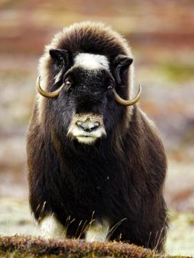 Musk Ox, Portrait of Adult Female on Tundra, Norway by Mark Hamblin